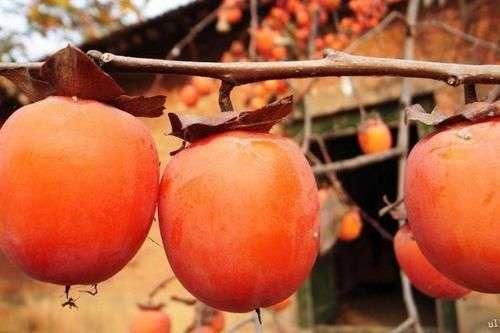 今天霜降,吃柿子的日子!